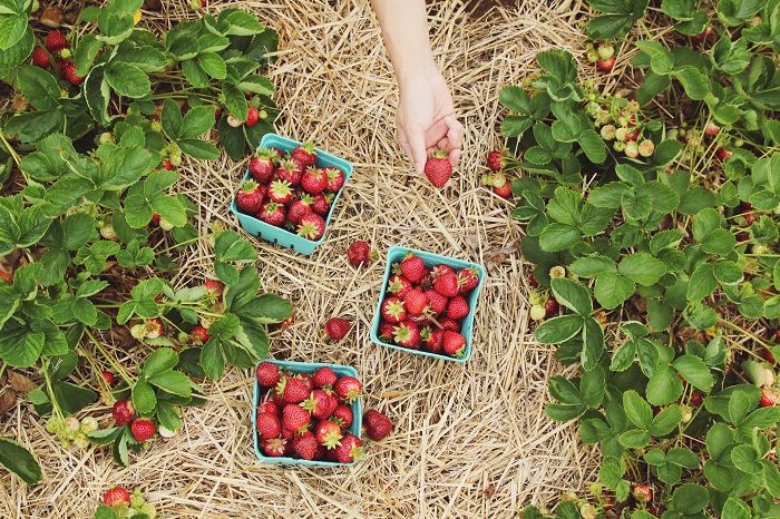 Berry picking in the UK this summer