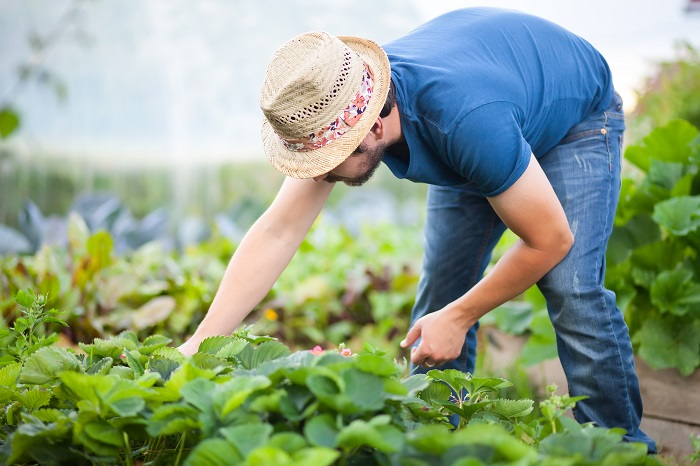 Young man farmer working in the garden, picking strawberries